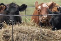 Εμπλοκή στην εισαγωγή ζώντων βοοειδών για πάχυνση