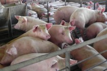 Μέτρα για την επιδείνωση της αγοράς χοιρινού ζητά η Πολωνία