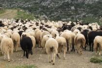 Προβληματισμός για τις προοπτικές του ευρωπαϊκού πρόβειου κρέατος