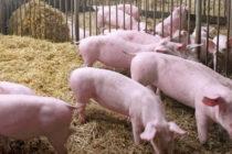 Σεμινάριο για την προστασία των χοίρων στις εκτροφές