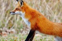Ξεκινά ο εναέριος εμβολιασμός των κόκκινων αλεπούδων για προστασία από τη λύσσα