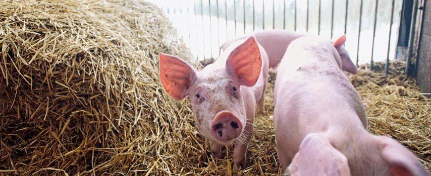 Ευρωπαϊκή Απόφαση για περιβαλλοντικά μέτρα σε εγκαταστάσεις εντατικής εκτροφής πουλερικών ή χοίρων