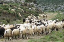Λέσβος: Λειτουργούν πλέον 3 σφαγεία, αλλά γκρεμίστηκαν οι τιμές λόγω ευλογιάς